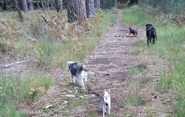 chiens dans une forêt se baladent