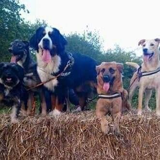 bouvier bernois, berger allemand, croisé, yorkshire, education canine, cours collectifs, balades educatives, chiots, chiens, eduka'chien, comportement, aurélie frérou - Copie