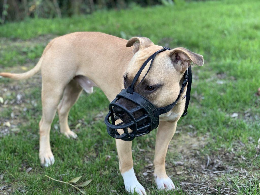 edukachien, aurélie frerou, education canine et comportementalisme canin a domicile, attestation d' aptitude staffy