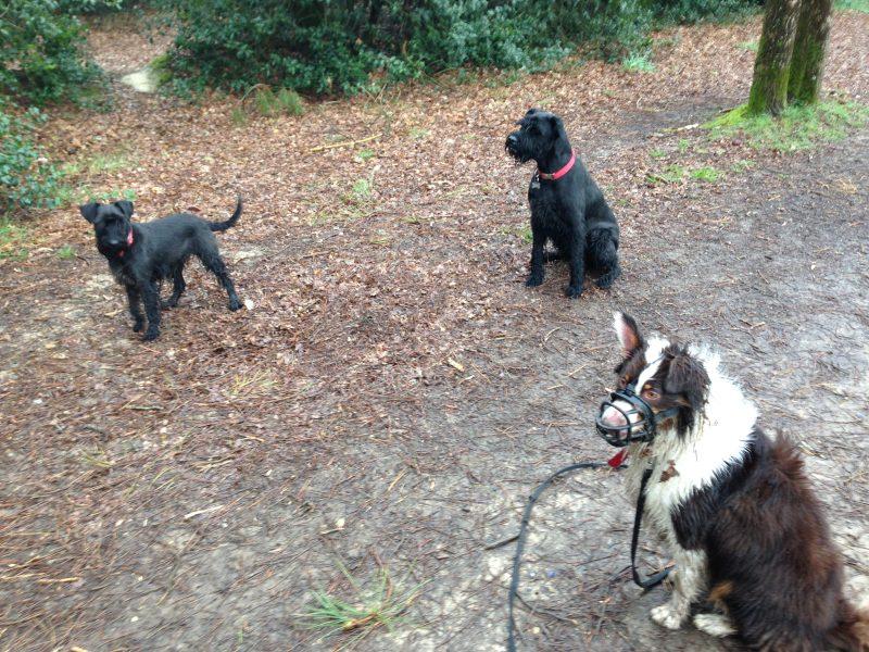 edukachien, aurélie frerou, education canine et comportementalisme canin a domicile,reeducation par la meute 4