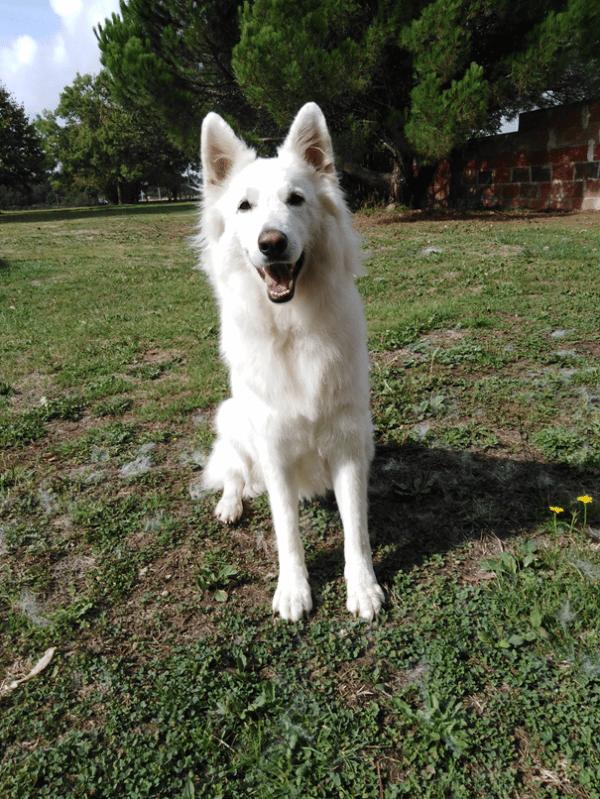 chien type berger blanc suisse de face oreilles dressées et gueule ouvert jardin et arbres
