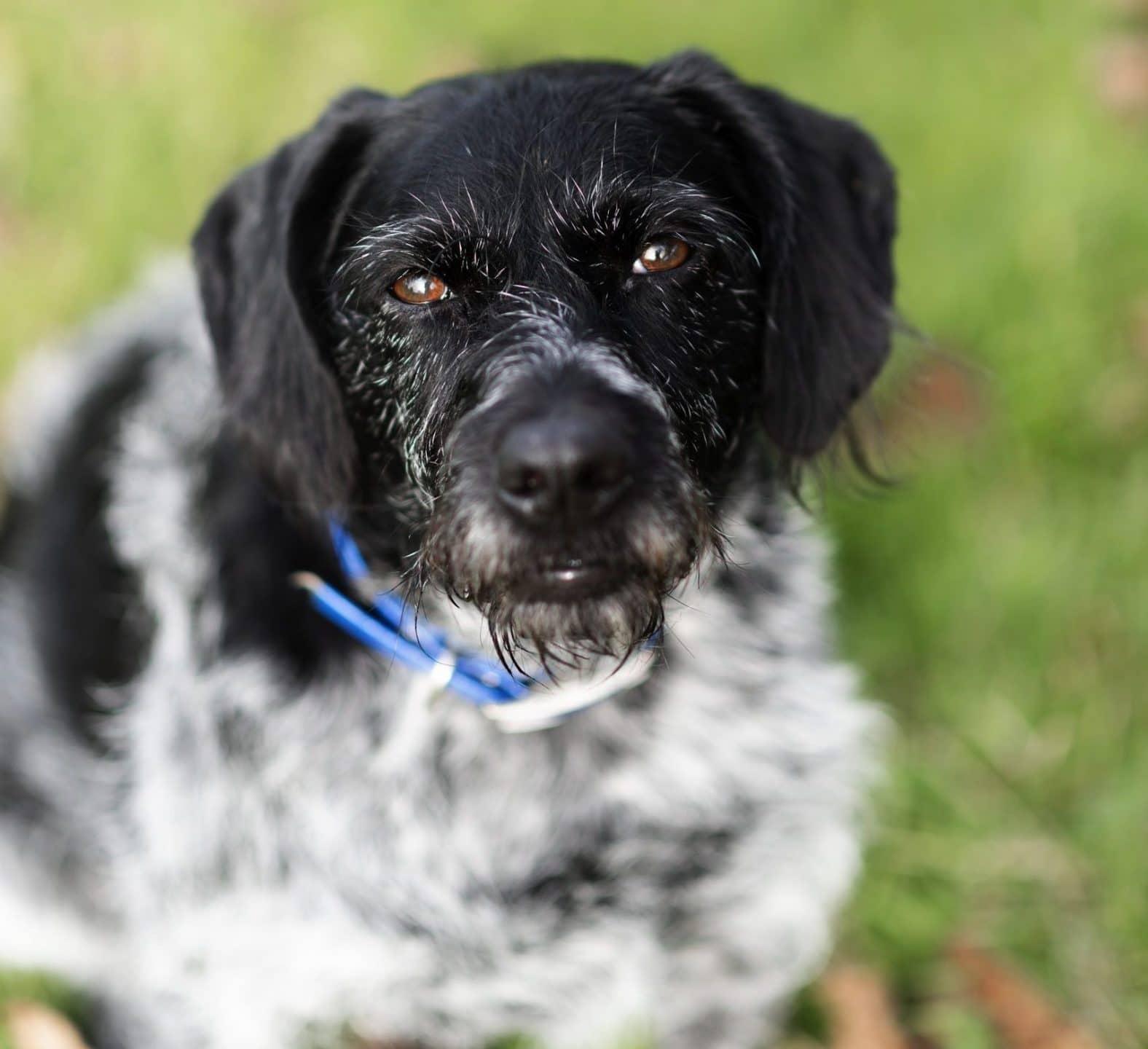 haley temoignage mathilde, comportementaliste canin a domicile, aurélie Frérou, hyper attachement, stress, angoisse, chien chasse, éduka'chien
