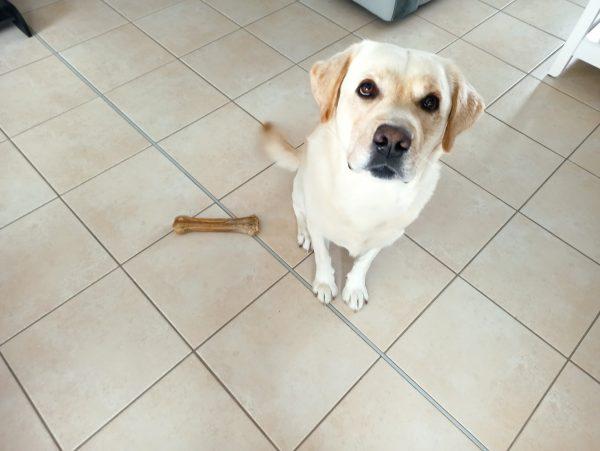 nouki labrador et jessica, education canine, comportement, balade educative, edukachien, aurelie frérou, cours collectifs,