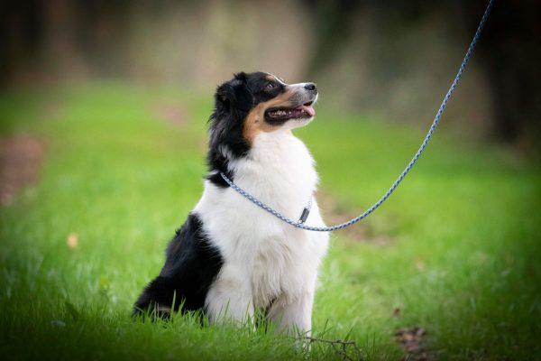 oola, berger australien, education canine, cours collectifs, chiot, balade educative, eduka'chien, aurelie frérou, comportement